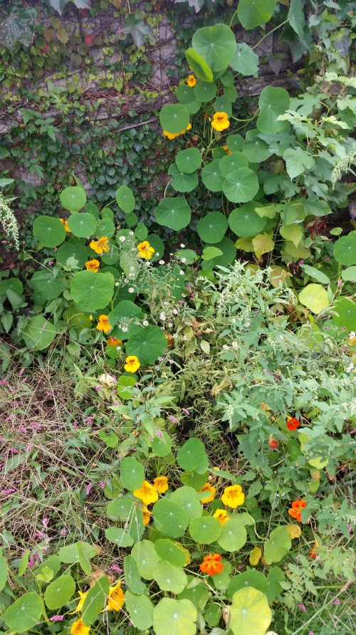 one of my favorite shots - trailing nasturtiums with poppies